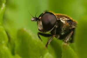 Small Hoverfly by Alliec