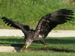 Bird 287 - eagle fishing by Momotte2stocks