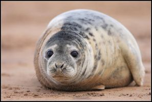 The Curious Seal by nitsch