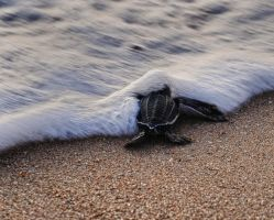 Loggerhead Turtle stock by JSF1