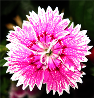 Pink Flower 2 by Magik3