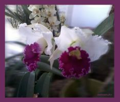 Orchidee-01-2013-12-10 by rembrantt