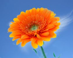 Gerbera by Angie-Pictures