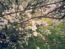 Cherry Blossoms 01 by cosplay33