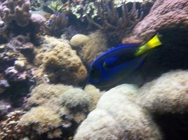Blue Tang by IShouldBeWriting
