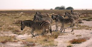 Plains Zebra Family Group by Serendith