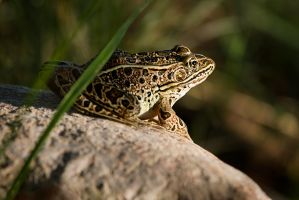 Froggy Came A Courting by Behrfeet