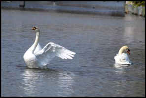 Mute Swans by St0DaD