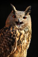 Eurasian eagle owl. by Evey-Eyes