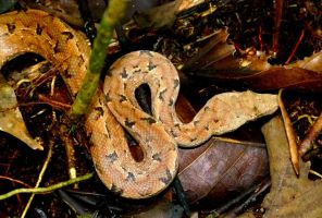 Pacific Boa by AfroDitee