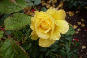 Rose in the Rain by Indiliel