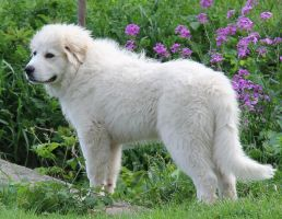pyr pup by cottoncandysheep
