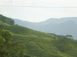 Cameron Highlands by VioletteOwl
