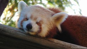 Red Panda by OnlyNature