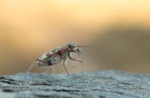 Tiger beetle by Tamyl91