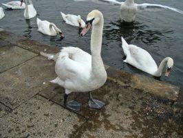 The Queen's Swans by We-Are-Under-1-Dome