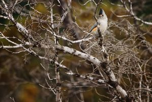 Mexican Tufted Titmouse by clippercarrillo