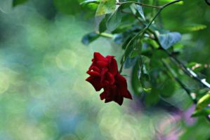 Red ,red.....rose by hundefreund