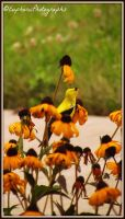 Golden Finch behind the Flowers by EuphoricPhotographs