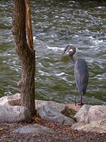 Young Blue Heron by thorshammerthor