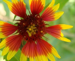 Indian Blanket by whipzter