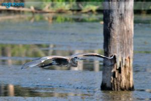 Blue Heron 6856 by mgroberts
