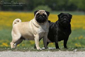 Pug, fawn and black by SaNNaS