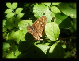 Speckled Wood by loopylass14uk
