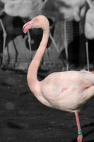 Flamingo by Chiron178
