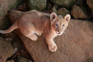 lion 3- curious by dark-angel-11309