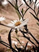 untitled daisy by barefootphotos