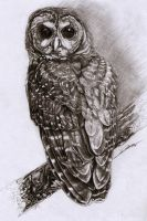 Northern Spotted Owl by AmBr0