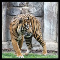 Tiger 3 by Globaludodesign