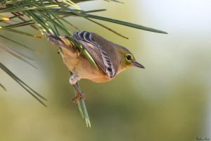 Pine Warbler by mydigitalmind