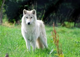 Arctic Wolf by Mark-Allison