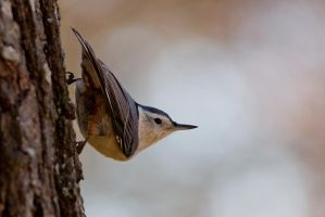 White Breasted Nuthatch 3 by bovey-photo