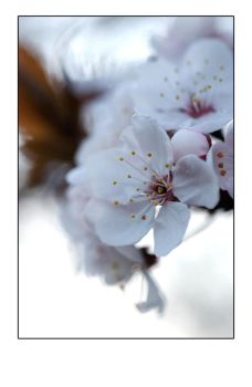 Blossom Collection 2009 - 4 by Hechser