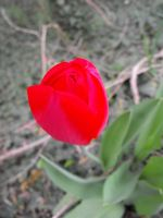 Red wild tulip in forest by A1Z2E3R