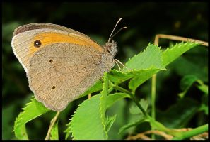 Meadow Brown by Pildik
