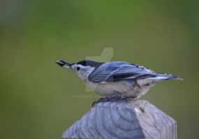 White-breasted Nuthatch by IdolRebel