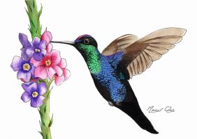 Violet crowned hummingbird by scubagirlph