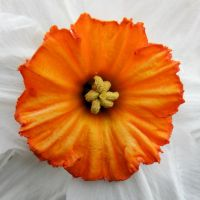 Orange on white by Biljana1313