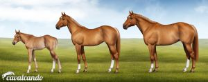 American Quarter Horse. Stages of growth by Chistokrovka