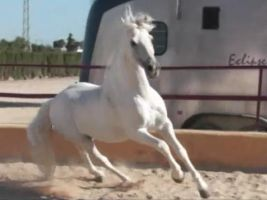 Andalusian Stallion24 - Stock by Bolero-L