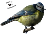 Cut-out stock PNG 47 - blue titmouse by Momotte2stocks