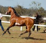 GE arab pinto canter side on by Chunga-Stock