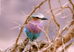 Lilac-Breasted Roller 1 by pinballwitch