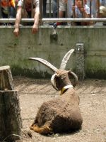 Manx Loaghtan Sheep and Children by RyuAmano