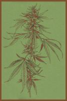 cannabis .:sativa by Club-Marijuana