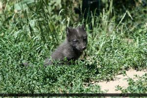 Arctic Fox 2 by Canisography